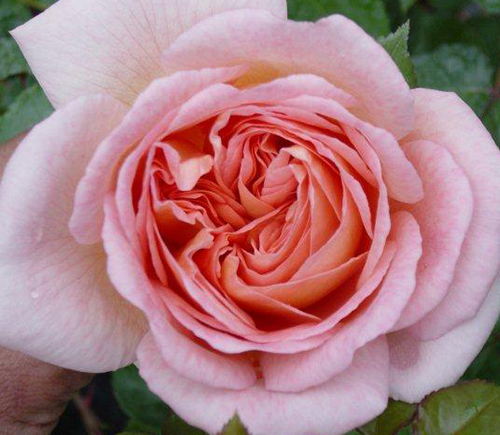 Rose Abraham-Darby